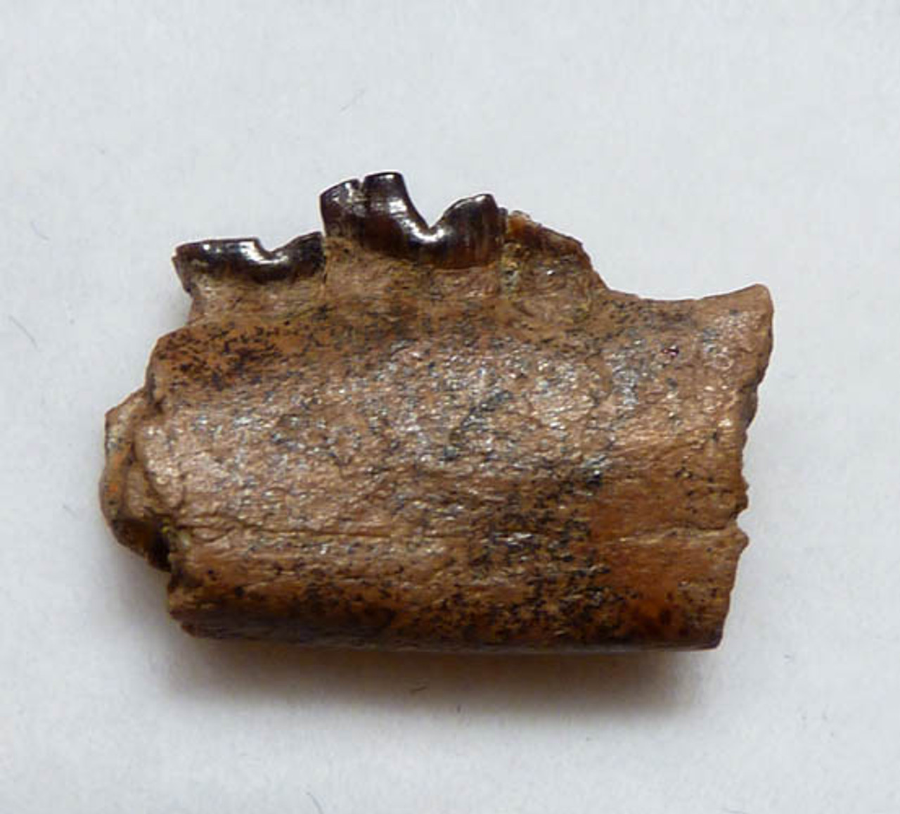 PARTIAL FOSSIL JAW FROM A METATHERIAN MAMMAL DIDELPHODON OFTHE DINOSAUR DAYS  *MM015
