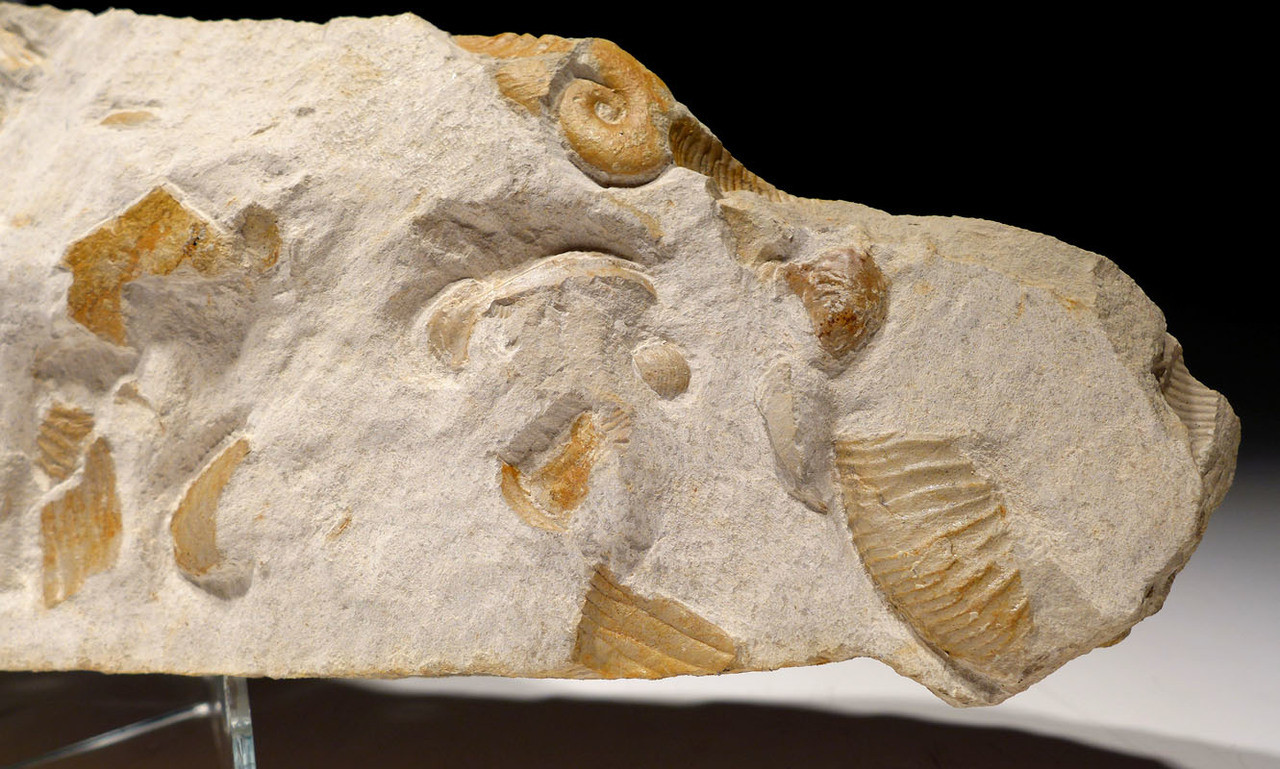 LARGE PREHISTORIC OCEAN LIFE FOSSIL WITH AMMONITES AND BELEMNITES  *AMX364