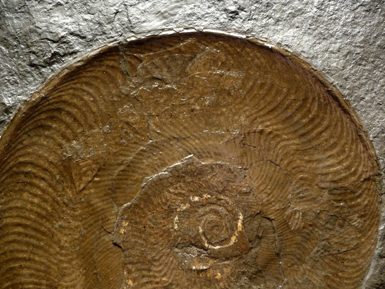 LARGE INTERIOR DESIGN ACCENT FOSSIL BLACK SHALE SLAB WITH 9 INCH GOLD PYRITE HARPOCERAS AMMONITE *AMX213