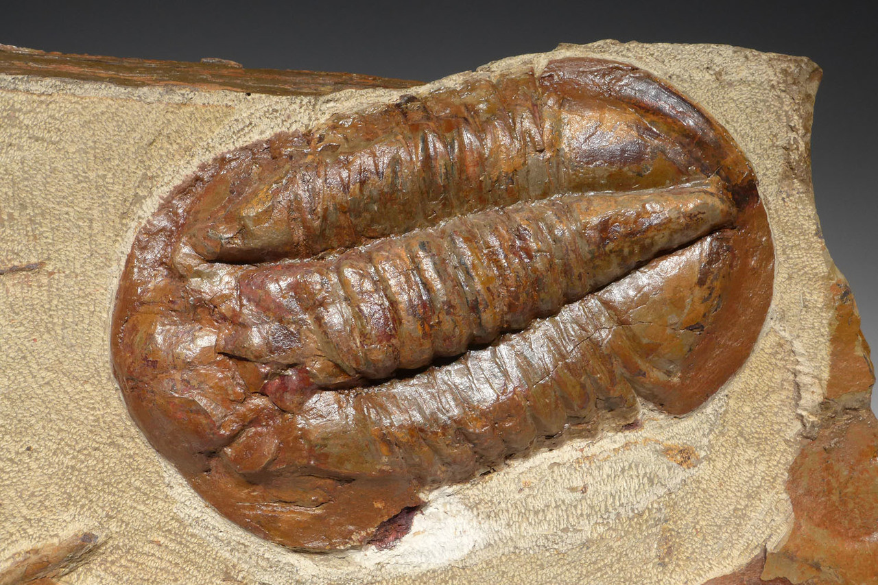 STUNNING RED ASAPHID TRILOBITES ASAPHUS FOSSIL ON LARGE COLORFUL LIMESTONE  *TRRD03