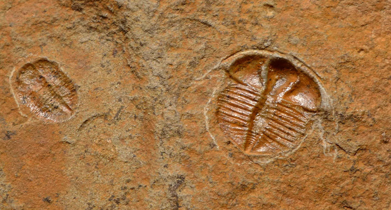 BRITISH DOUBLE TRINUCLEUS AND ASAPHID TRILOBITES FROM WALES GREAT BRITAIN  *TRX337