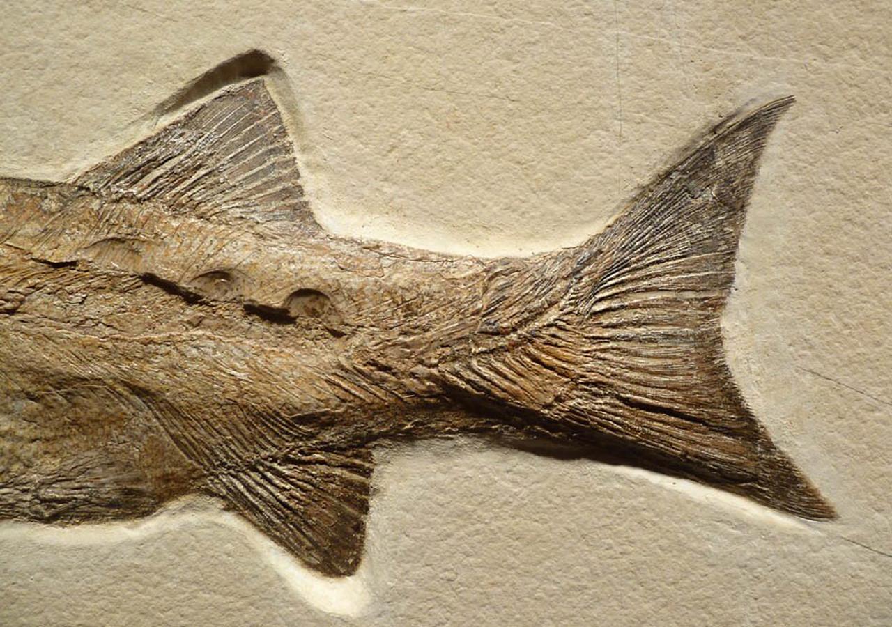 MASSIVE INTERIOR DESIGN ACCENT FOSSIL MUSEUM GRADE GIANT CALLOPTERUS FISH FOSSIL  *F111