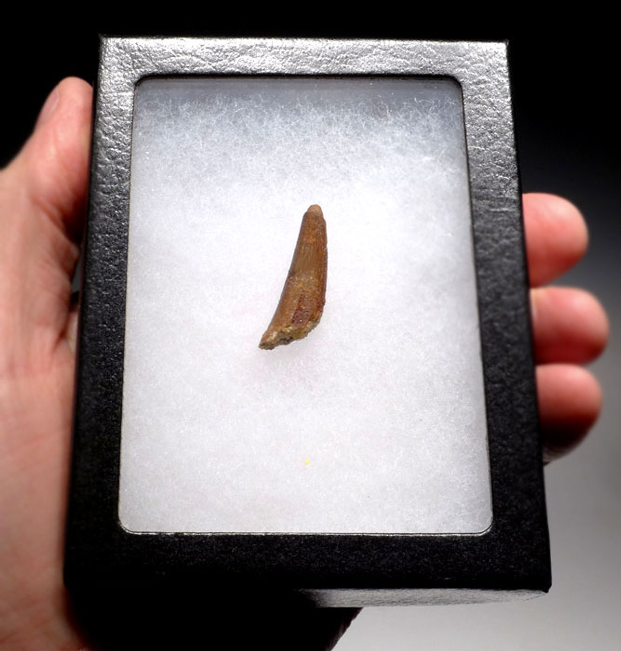 FOSSIL PTEROSAUR PTERODACTYL FLYING REPTILE TOOTH  *DT4-060