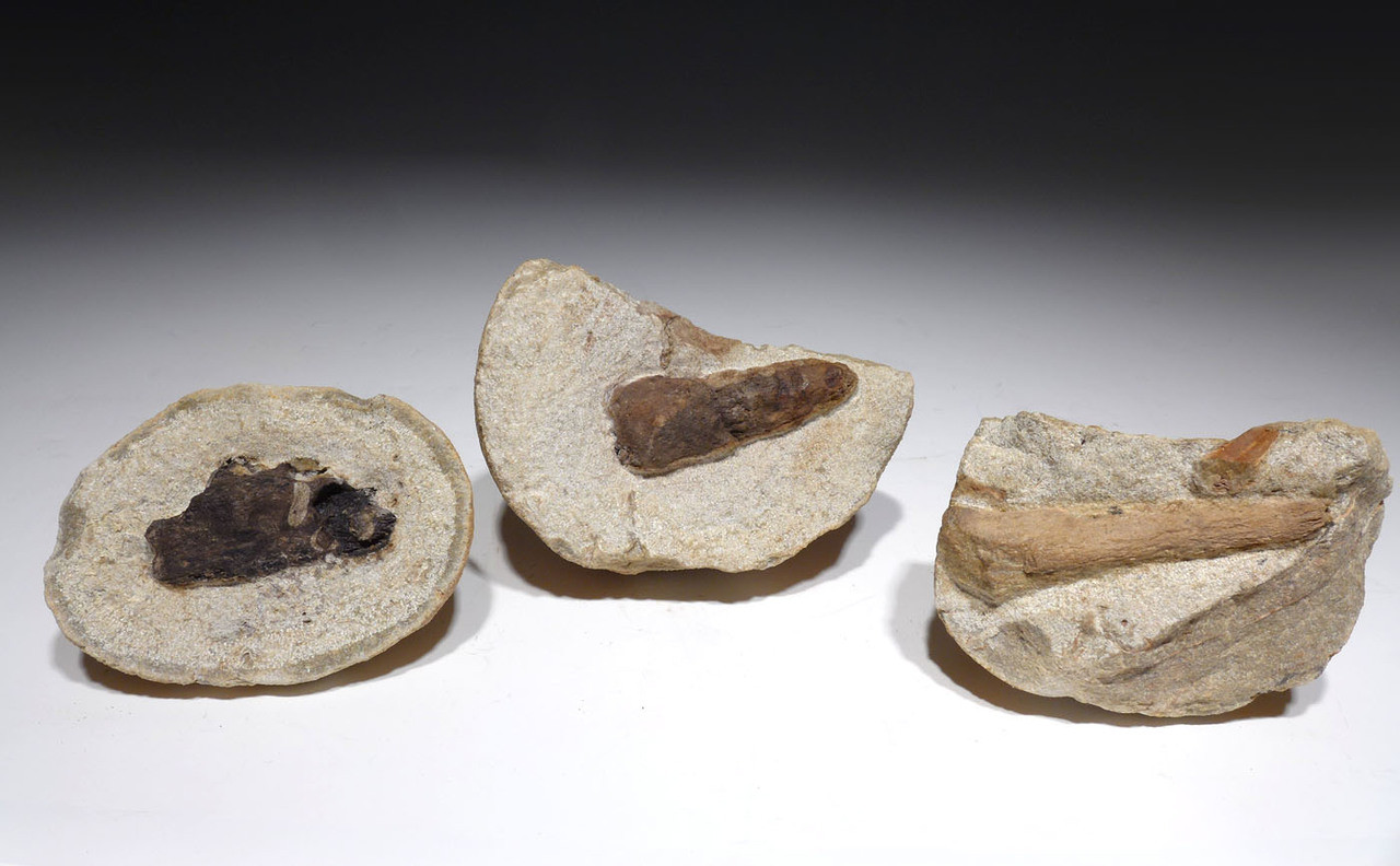THREE OLIGOCENE WOOD FOSSILS IN CONCRETION FROM BAD KREUZNACH GERMANY *PL176