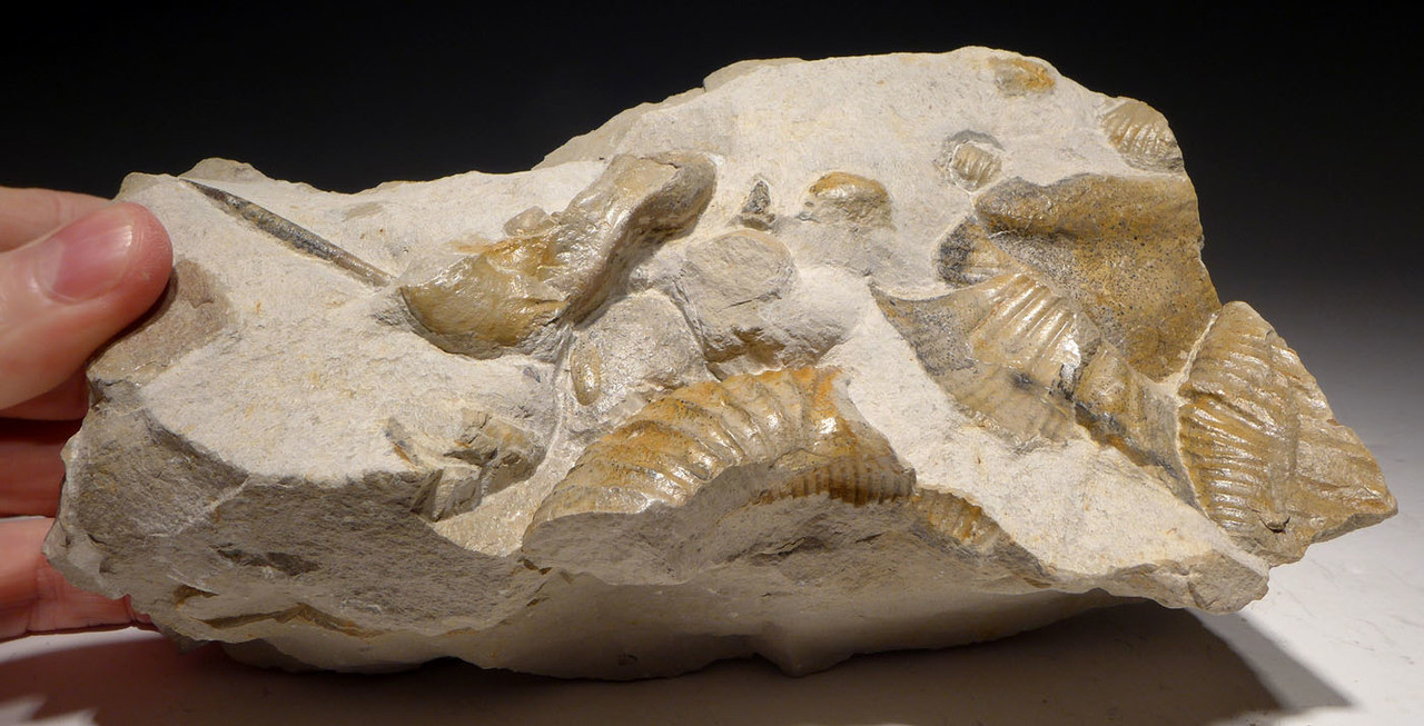 MASS EXTINCTION JURASSIC SEA LIFE FOSSIL WITH AMMONITES AND BELEMNITE  *AMX378