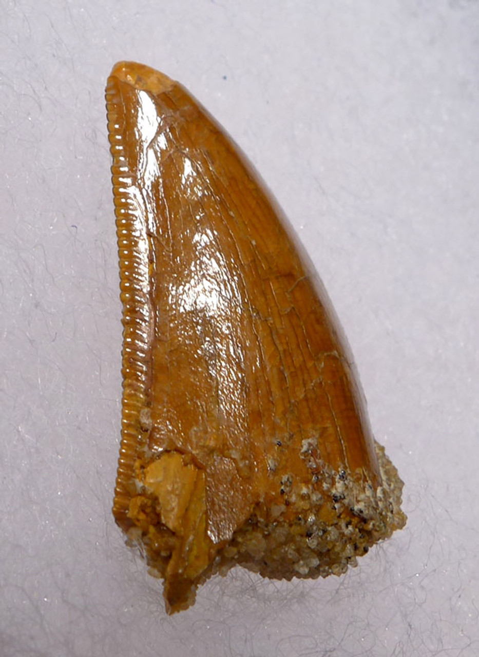 MEAT-SHEARING DELTADROMEUS DINOSAUR TOOTH WITH EXCELLENT PRESERVATION  *DT11-038