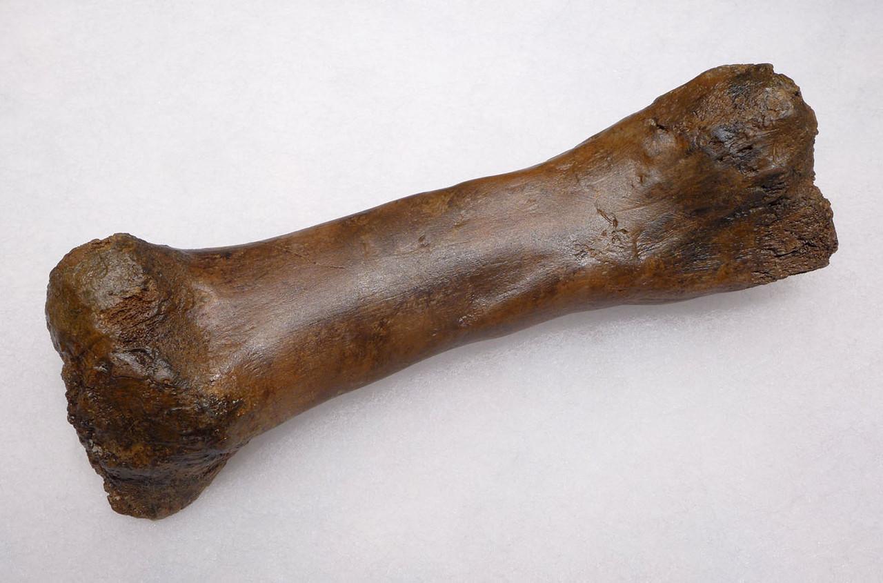 RARE PACHYCEPHALOSAURUS METATARSAL FOSSIL DINOSAUR BONE  *DBX039