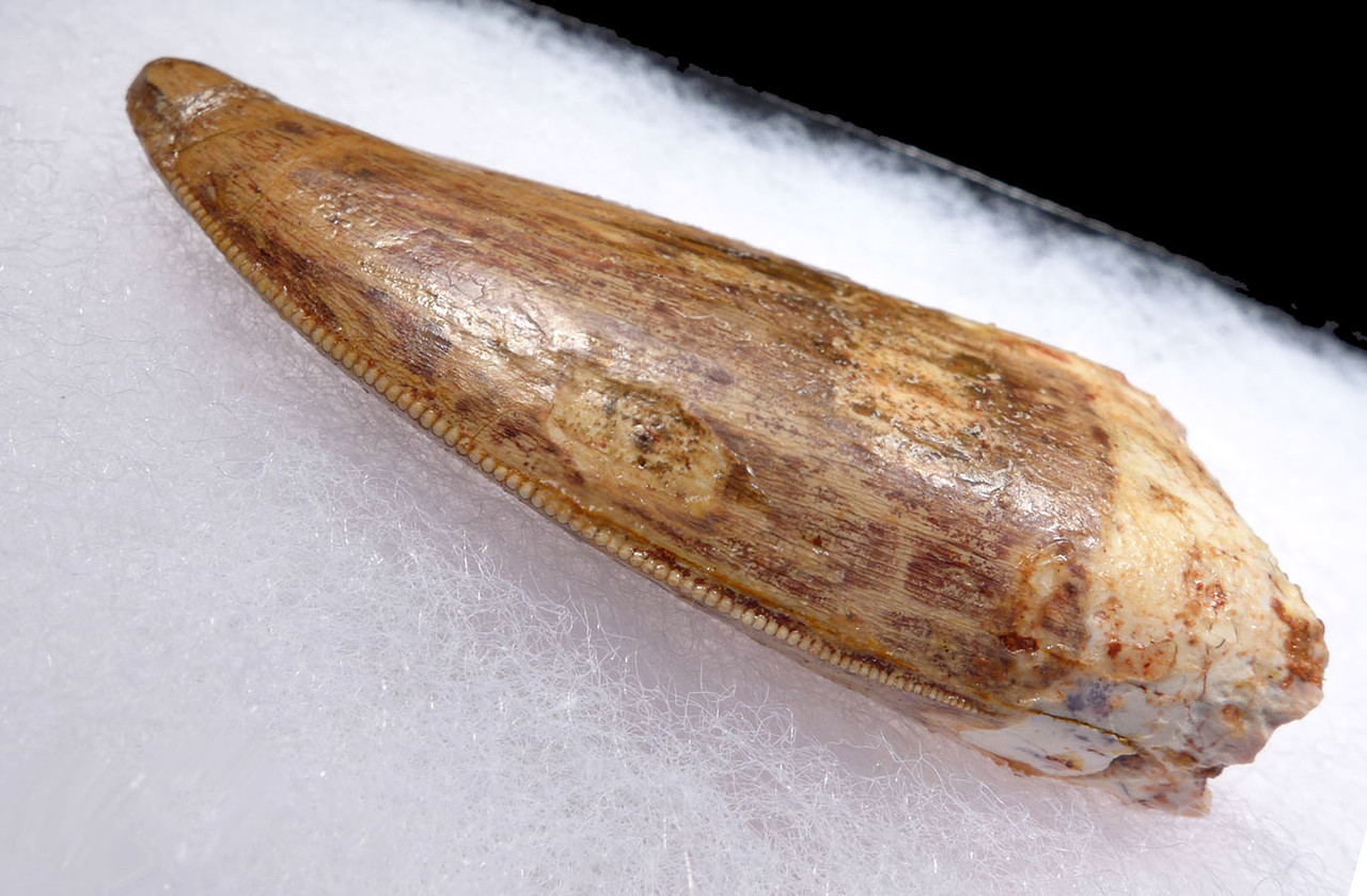 BEAUTIFUL IMPRESSIVE 3 INCH DINOSAUR TOOTH FROM CARCHARODONTOSAURUS *DT2-110