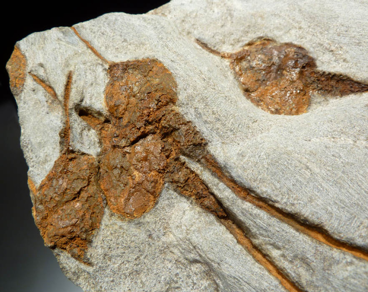 NATURAL GROUPING OF ORDOVICIAN DENDROCYSTITES CARPOID FOSSILS  *CARP001