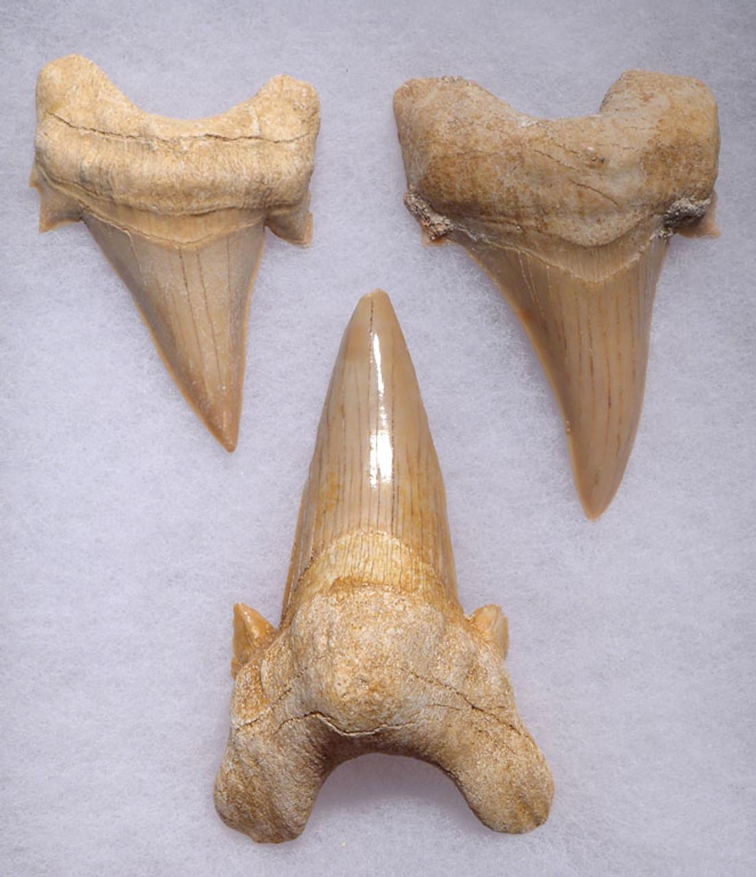 THREE LARGE PREMIUM FOSSIL MACKEREL SHARK OTODUS TEETH WITH UNRESTORED ROOTS  *OT003