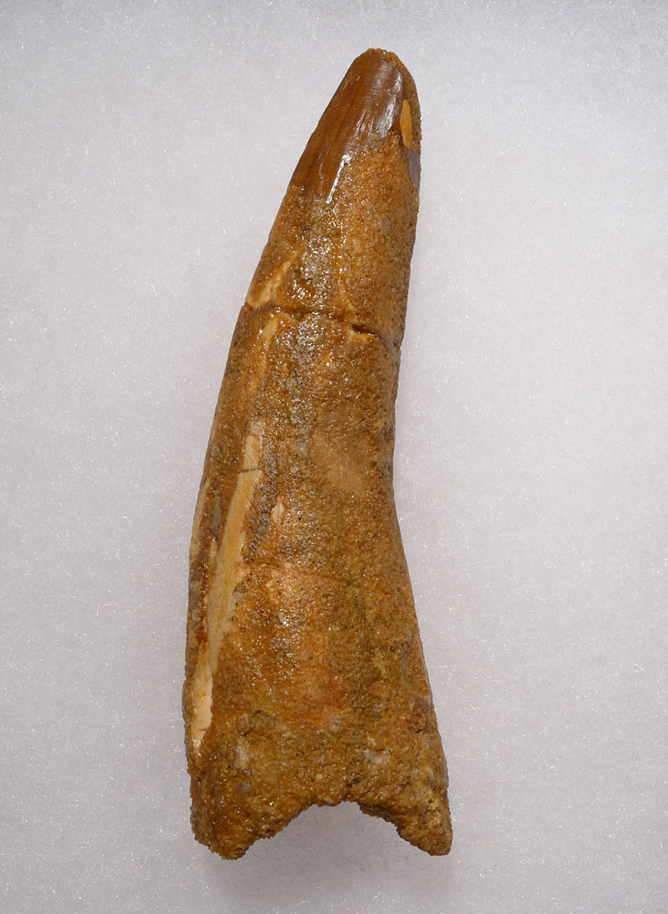 LARGE 3.25 INCH SPINOSAURUS DINOSAUR FOSSIL TOOTH  *DT5-518