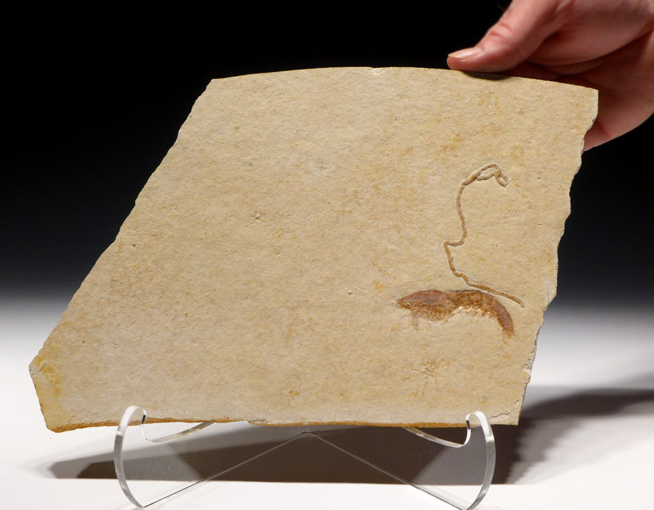 FINEST ANTRIMPOS JURASSIC SHRIMP FOSSIL WITH GIANT SQUID COPROLITE AND FLOATING CRINOIDS *CRUS035