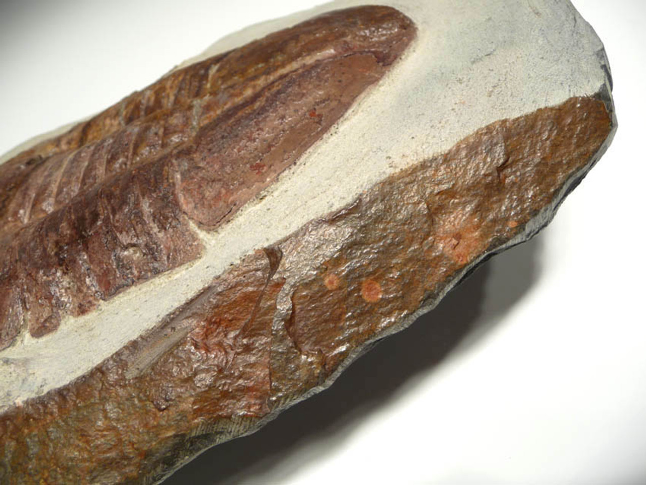ONE EDGE OF ROCK PLATE SHOWS ORIGINAL NATURAL EXPOSED ROCK FACE OF CLIFF.  THE COLOR OF THIS NATURAL FACE MATCHES THE TRILOBITE.