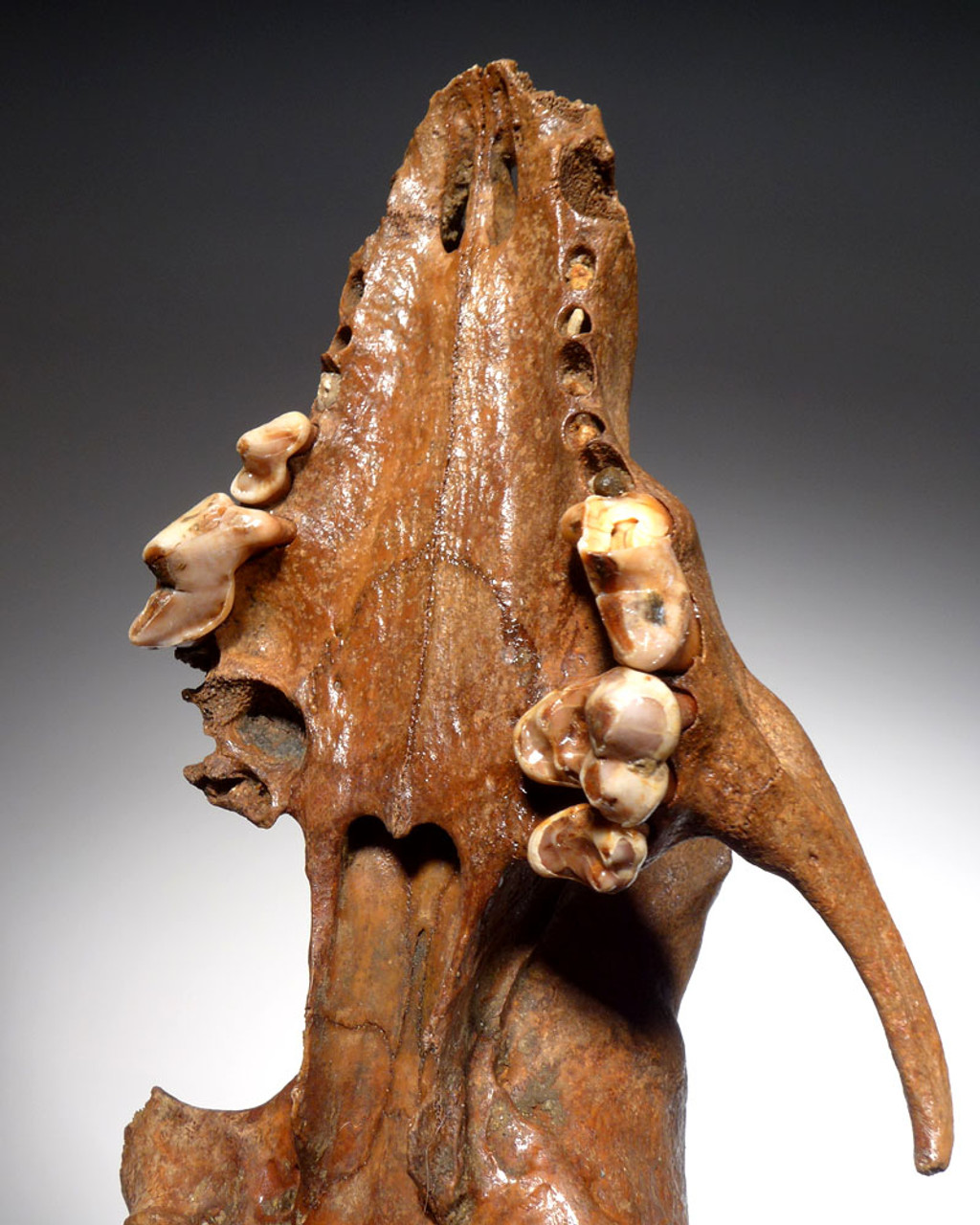 EXTREMELY RARE FOSSIL CANID WOLF SKULL FROM ICE AGE CENTRAL EUROPE  *LMX273