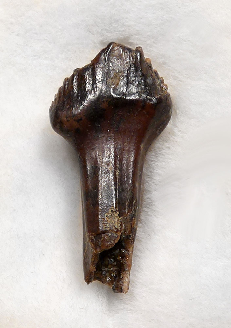FINEST THESCELOSAURUS DINOSAUR TOOTH WITH FULL CROWN AND ROOT *DT20-026