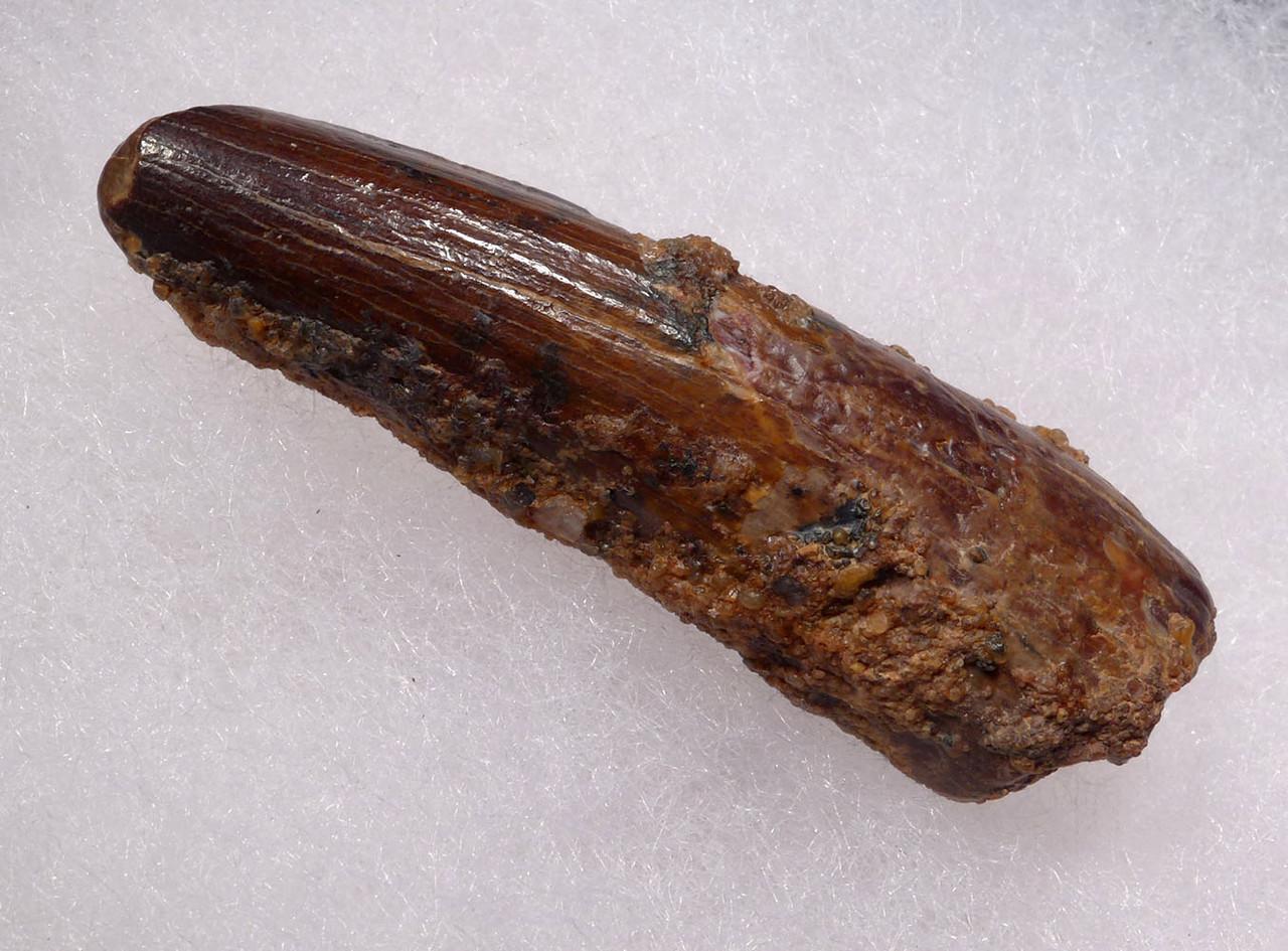 1.9 INCH SPINOSAURUS FOSSIL DINOSAUR TOOTH  *DT5-536
