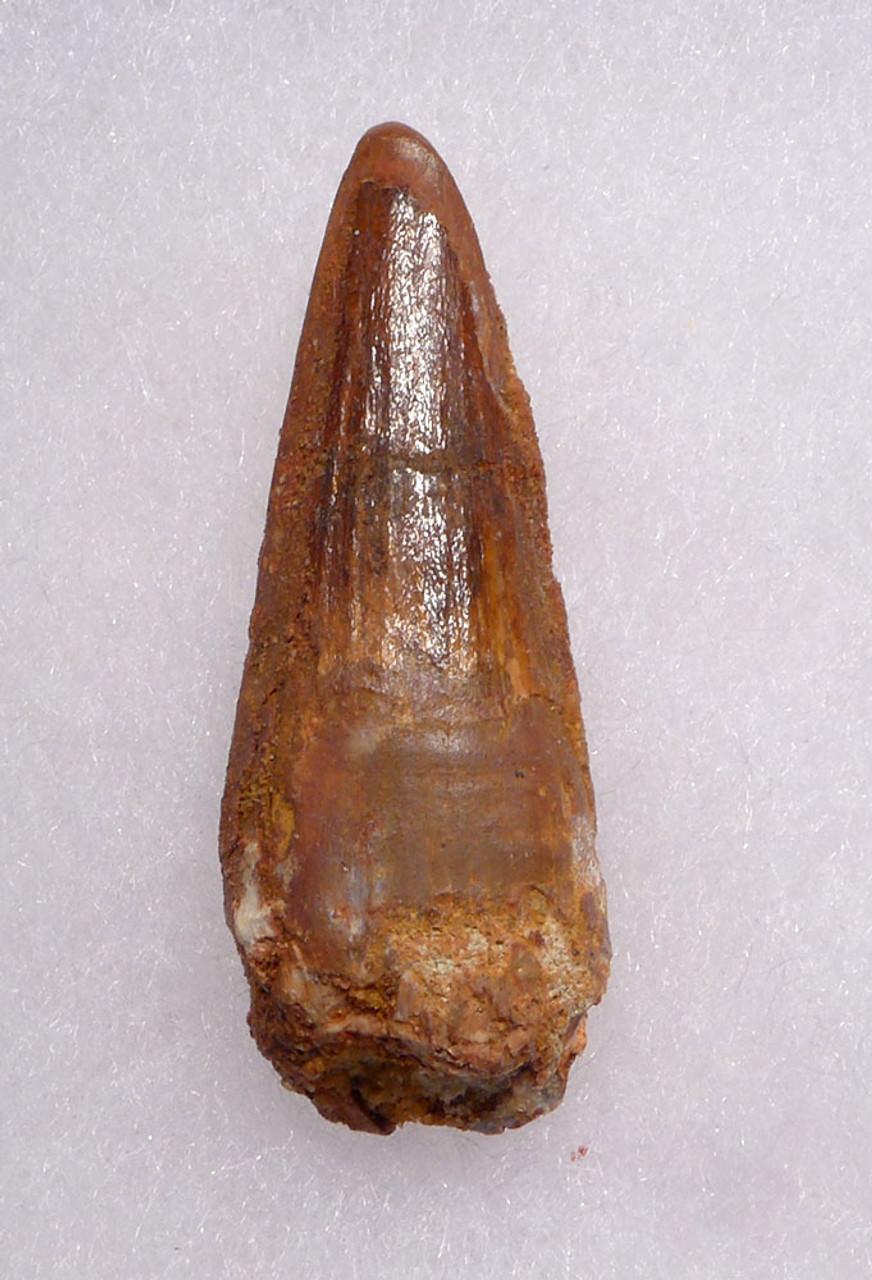 1.75 INCH SPINOSAURUS DINOSAUR FOSSIL TOOTH *DT5-534