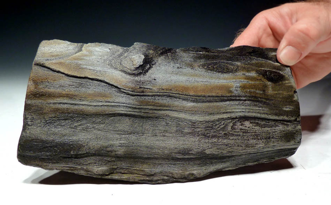 PL056 - COLORFUL MIOCENE PERIOD PETRIFIED WOOD IN NATURAL FORM WITH BEAUTIFUL GRAIN AND DETAIL FROM EUROPE