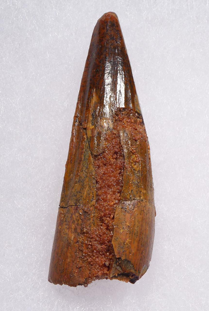 SPINOSAURUS FOSSIL DINOSAUR TOOTH 2 INCH  *DT5-522