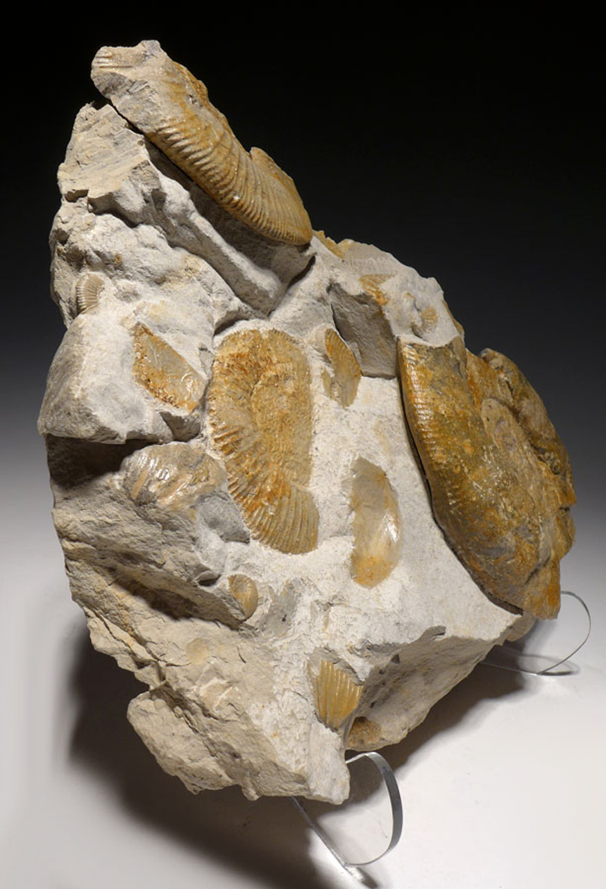 LARGE MASS EXTINCTION JURASSIC SEA LIFE FOSSIL WITH AMMONITES FROM GERMANY  *AMX371