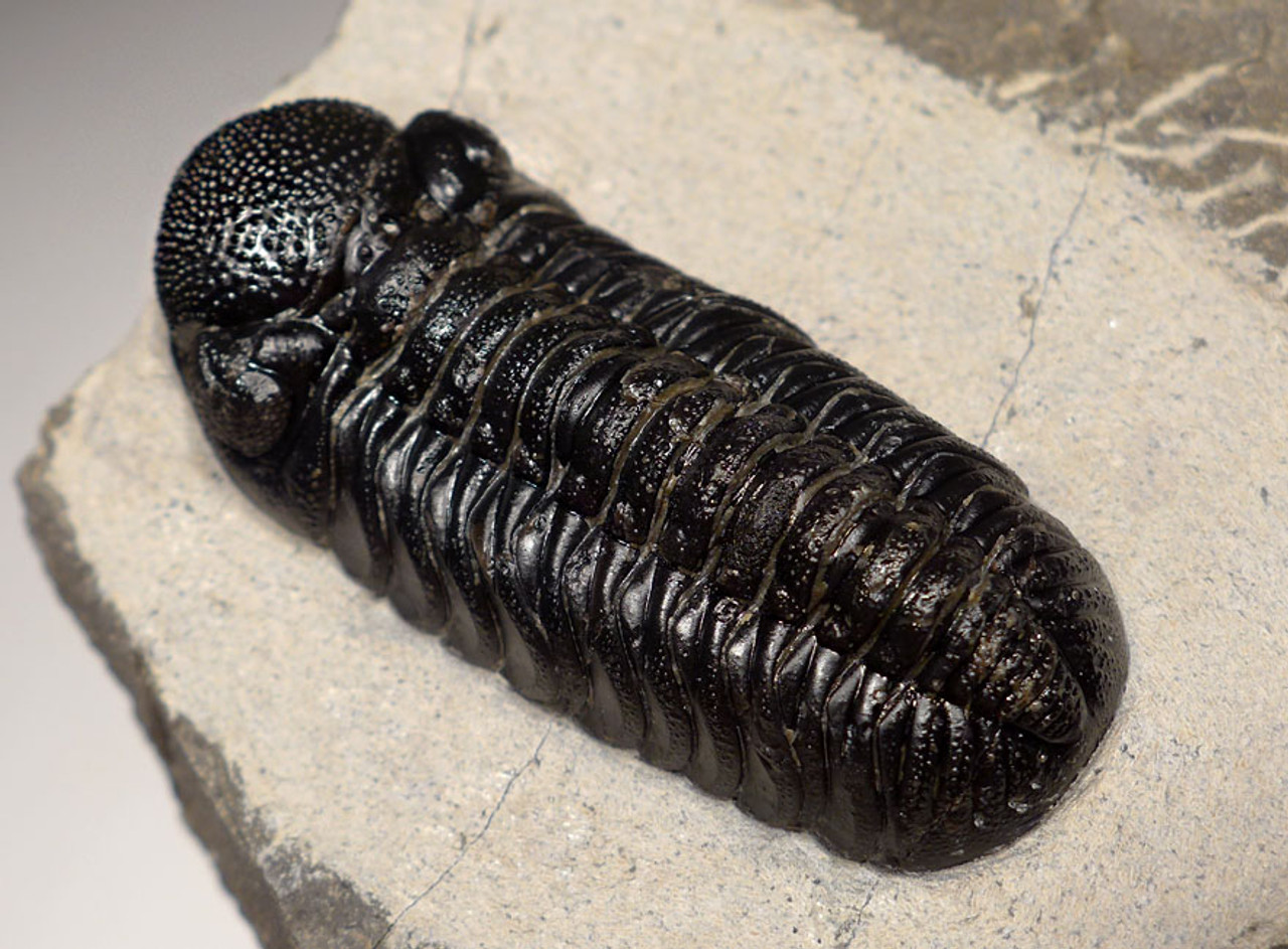 EXCELLENT PHACOPS TRILOBITE FOSSIL WITH EYE LENS DETAIL  *TRX458