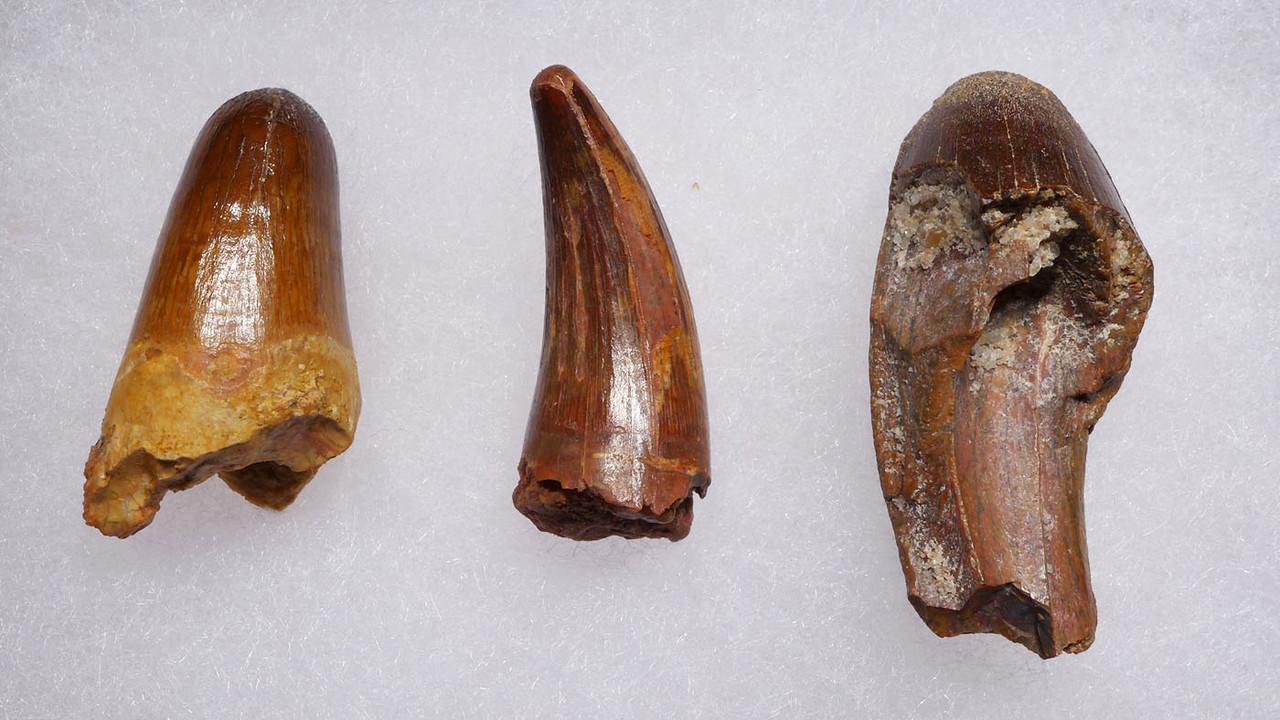 THREE DIFFERENT FOSSIL CROCODILE TEETH FROM THE DINOSAUR DAYS   *CROC087