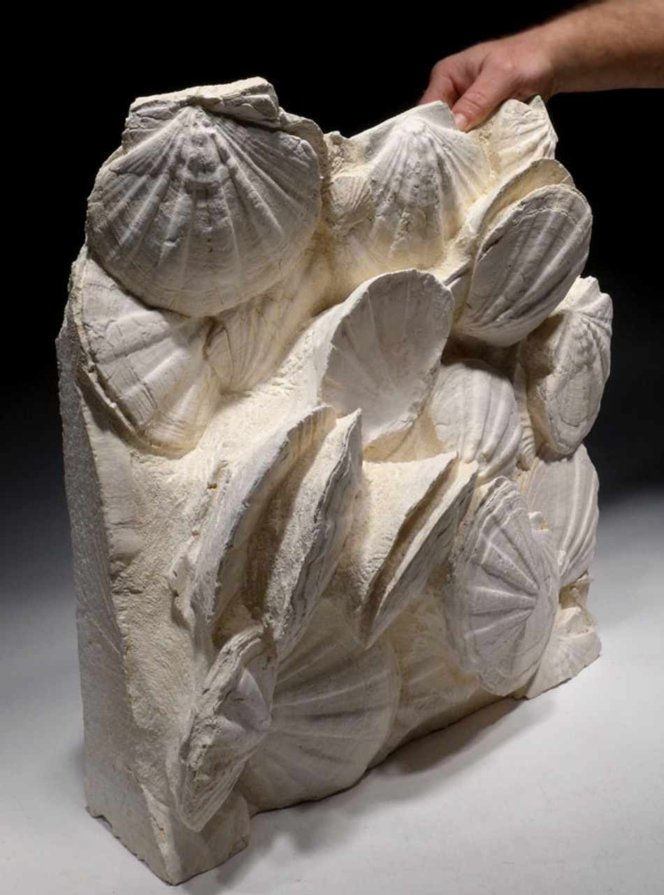BIV020 - MUSEUM-CLASS HUGE FOSSIL BED OF PREHISTORIC GIANT SEA SCALLOPS DENSELY PACKED IN ORIGINAL POSITION