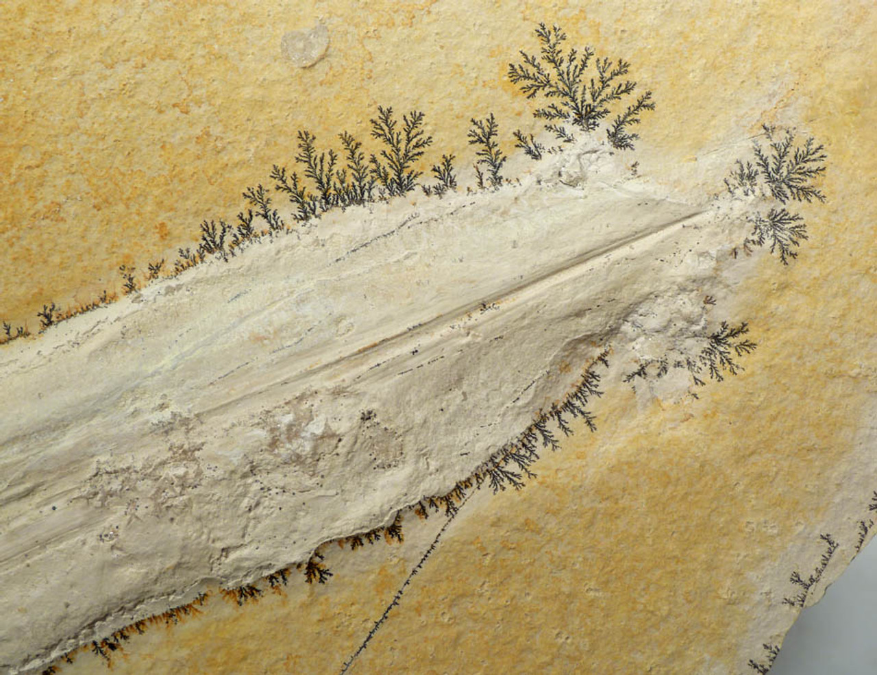 JURASSIC SQUID FOSSIL WITH CRYSTALLIZED MOUTH AND TENTACLES ON LARGE SOLNHOFEN LIMESTONE  *SQ007