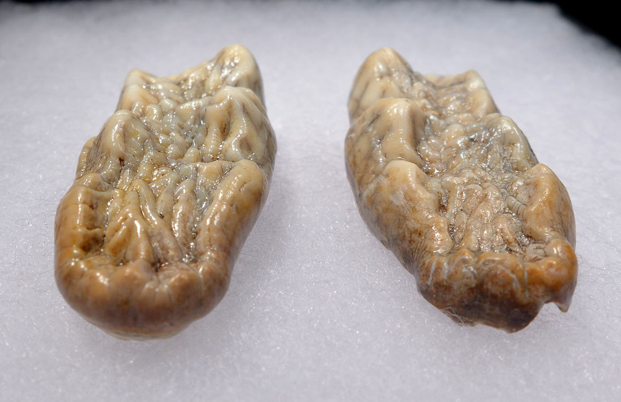 FINEST LARGE MATCHED ORIGINAL PAIR OF CAVE BEAR PRIMARY FOSSIL MOLAR TEETH FROM THE FAMOUS AUSTRIA DRACHENHOHLE DRAGONS CAVE *LM40-191