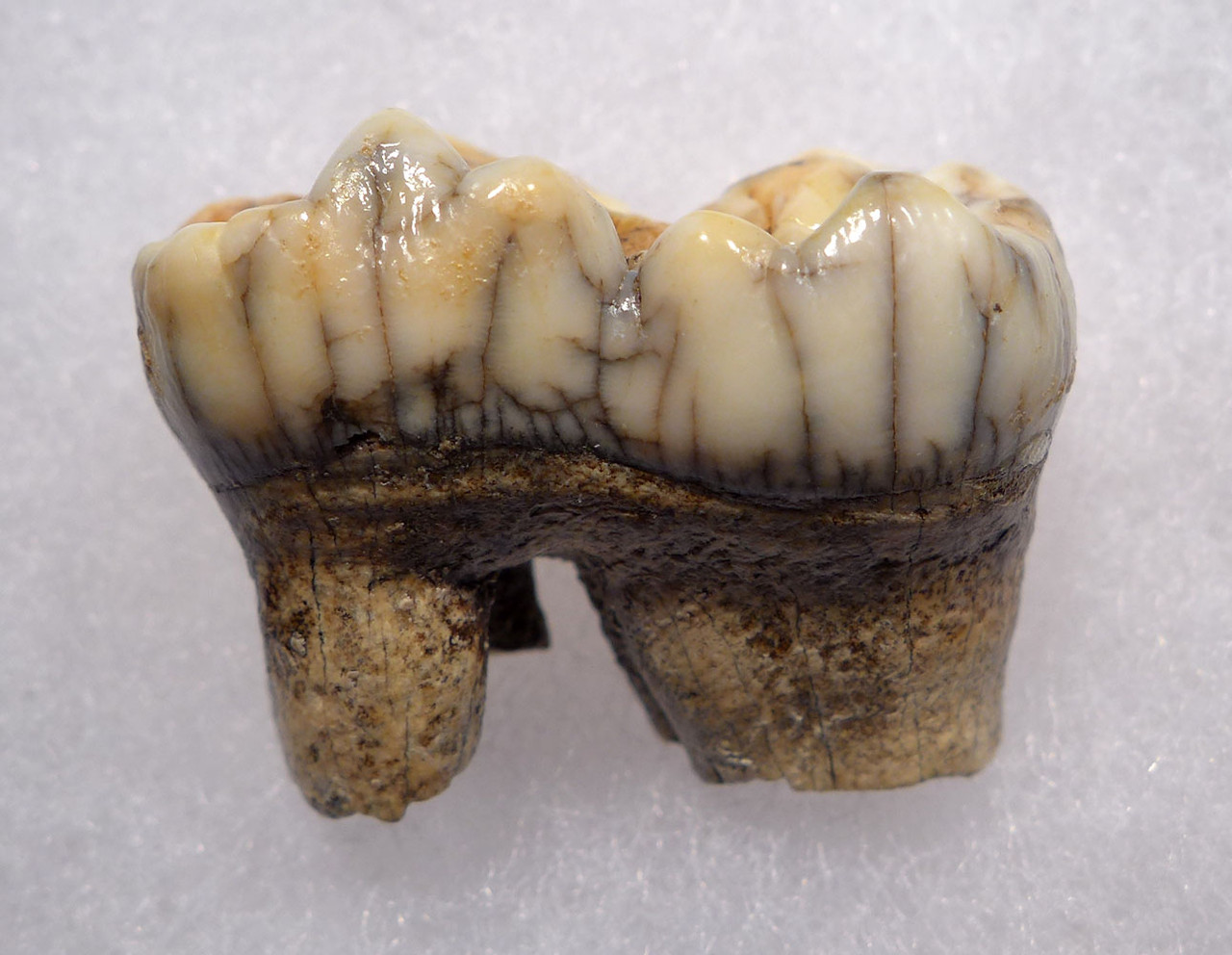 LARGE URSUS SPELAEUS CAVE BEAR FOSSIL MOLAR TOOTH FROM ROMANIA  *LM40-189