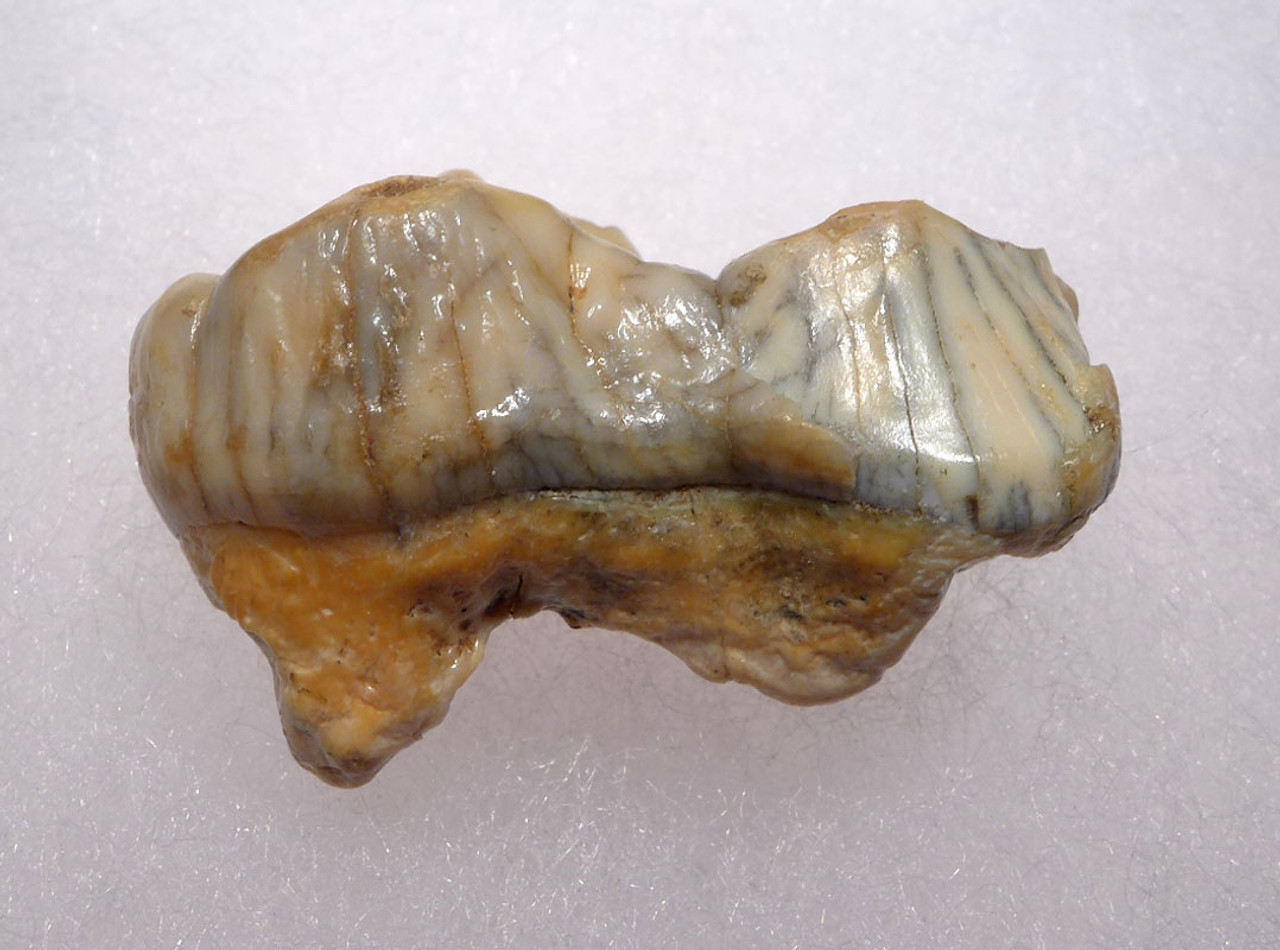 LARGE URSUS SPELAEUS CAVE BEAR FOSSIL MOLAR TOOTH FROM ROMANIA  *LM40-195