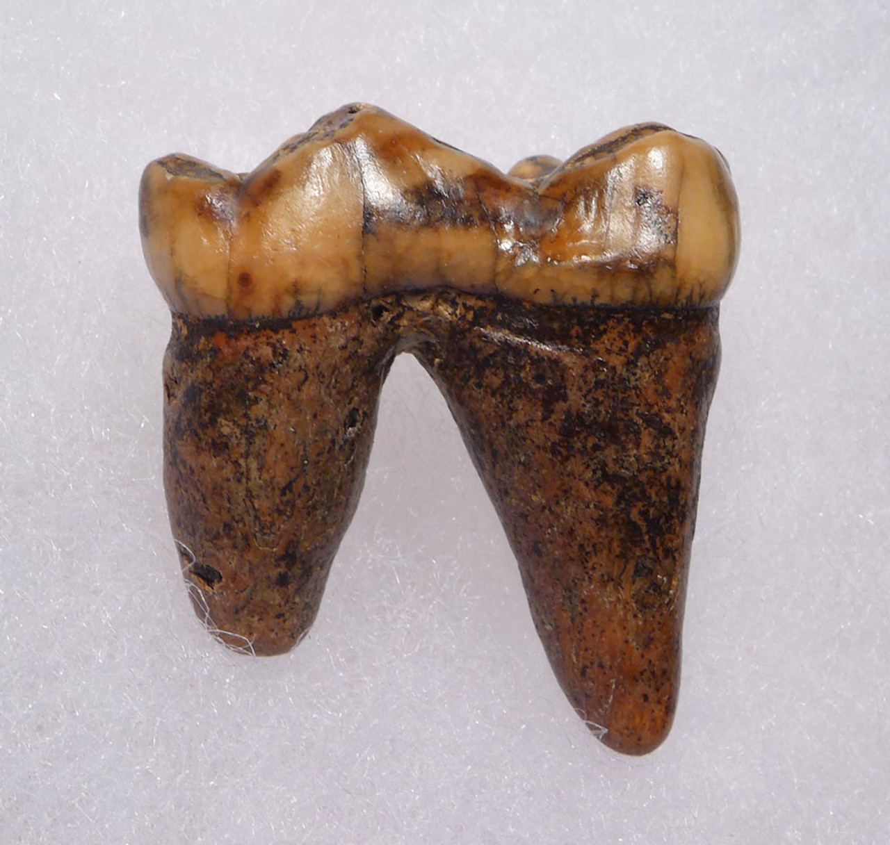 CAVE BEAR FOSSIL MOLAR TOOTH WITH ROOT AND DECAY CAVITY FROM FAMOUS DRACHENHOHLE DRAGONS CAVE AUSTRIA  *LM40-194