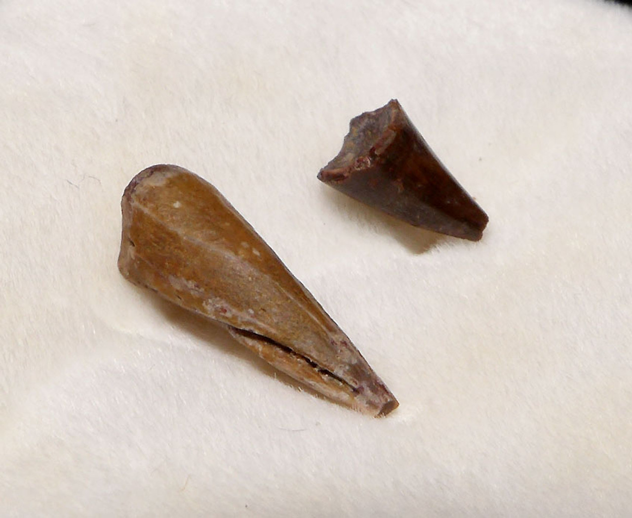 ERYOPS PERMIAN AMPHIBIAN FOSSIL CLAW AND TOOTH  *DT22X9