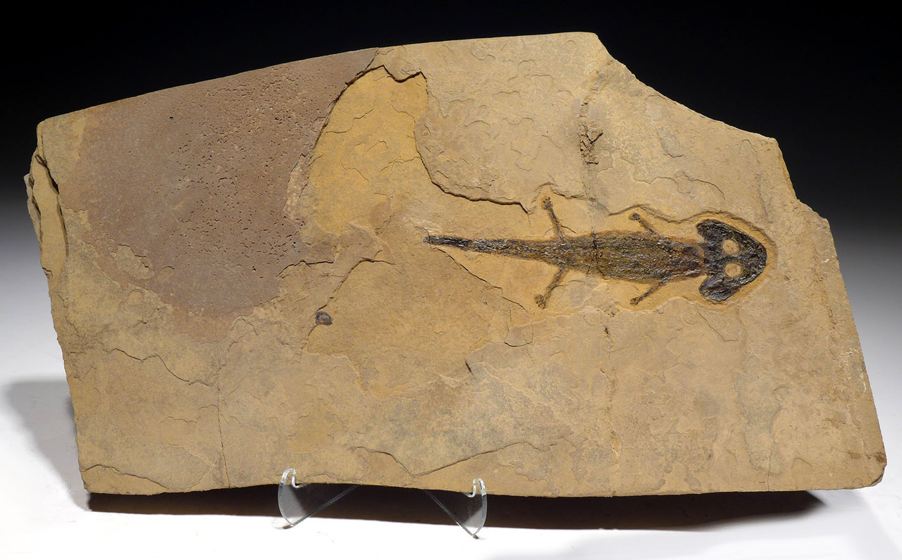 EXCEPTIONAL PERMIAN SCLEROCEPHALUS AMPHIBIAN FOSSIL  ON SHALE  *AMPH300