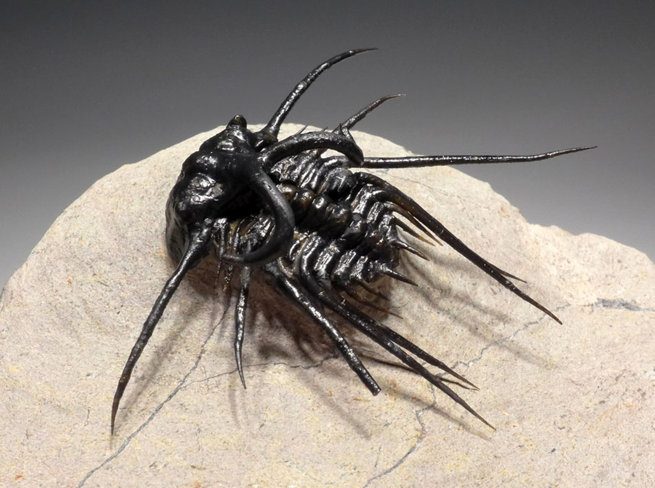 TOP QUALITY SPINY DICRANURUS TRILOBITE WITH FULLY EXPOSED SPINES *TRX322
