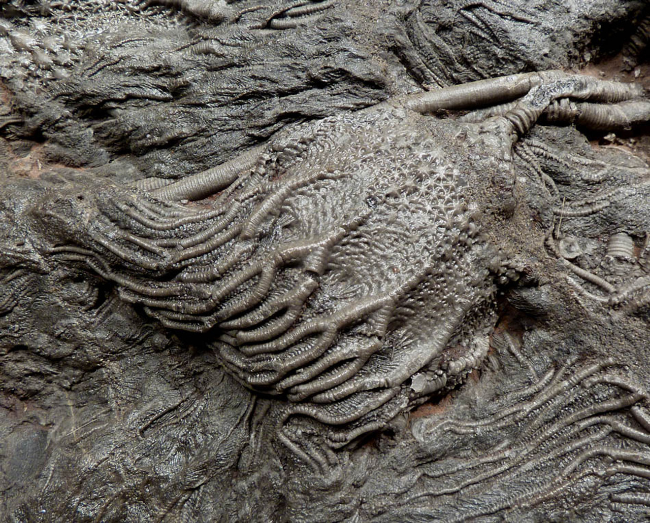 GIANT 420 MILLION YEAR PREHISTORIC SEA LIFE FOSSIL WITH EXTINCT CRINOID SEA LILIES AND CORAL *CRI032