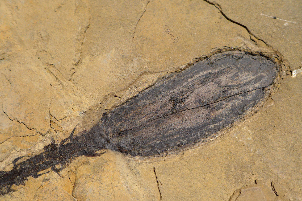ULTRA-RARE PERMIAN WALCHIA PLANT FOSSIL MALE POLLEN CONE FROM BEFORE THE DINOSAURS  *PLP1