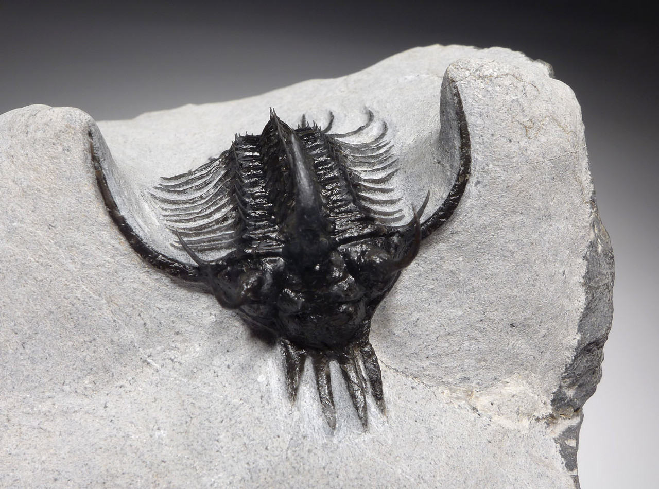 FINEST LONG-SPINED SPINY QUADROPS TRILOBITE WITH ALL SPINES EXPOSED  *TRX502