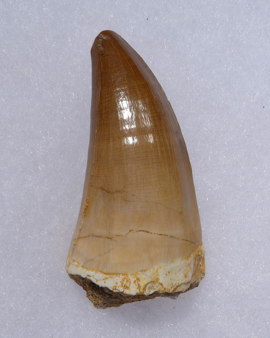 LARGE IMPRESSIVE FOSSIL MOSASAURUS TOOTH FROM A HUGE EXTINCT MOSASAUR  *DT1-900