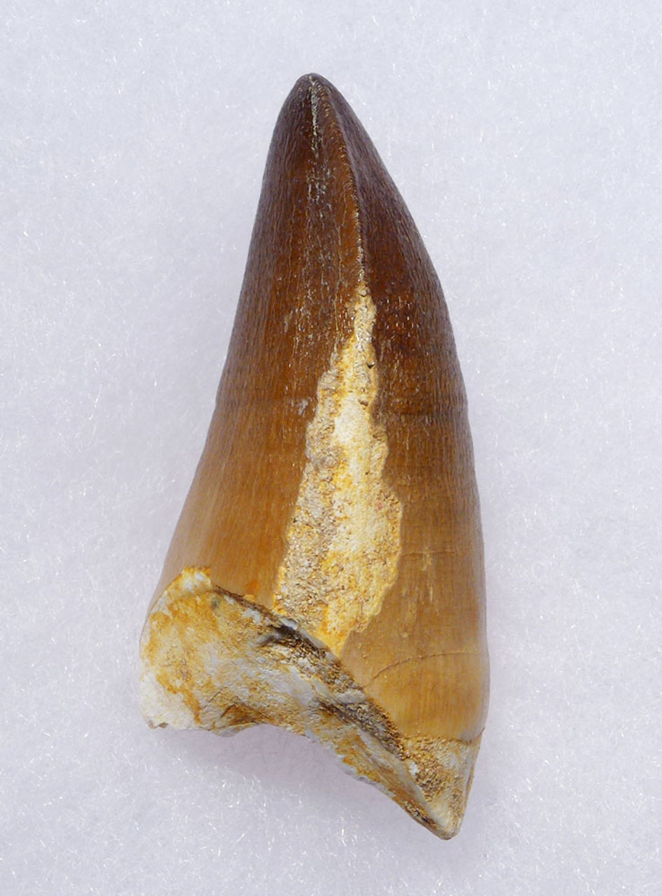 VERY LARGE MOSASAUR TOOTH FOSSIL FROM A HUGE EXTINCT MARINE REPTILE  *DT1-901