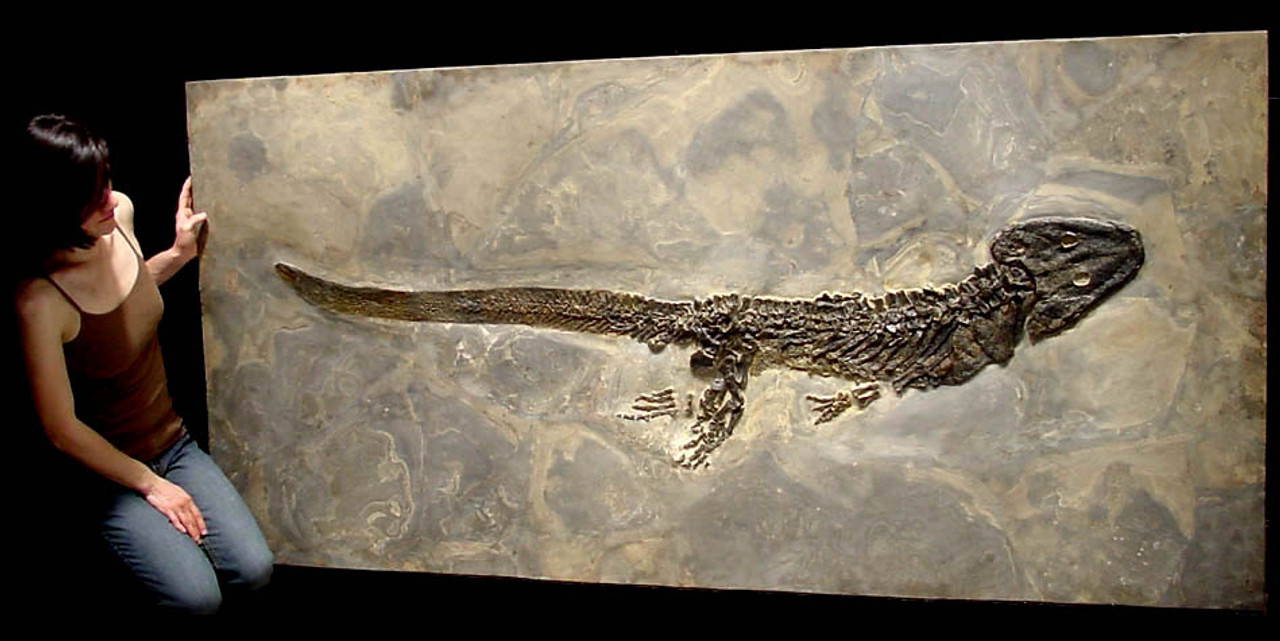 LARGEST KNOWN PREHISTORIC SCLEROCEPHALUS AMPHIBIAN FOSSIL FROM BEFORE THE FIRST DINOSAURS  *AMPH013