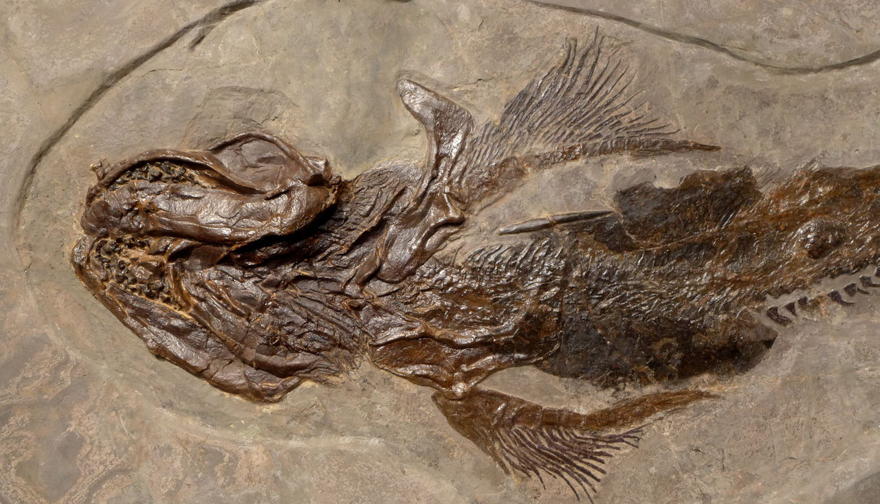 SUPREME LARGE INTERIOR DESIGN MUSEUM FOSSIL LEBACHACANTHUS ORTHACANTHUS SHARK FROM PERMIAN PERIOD *F131