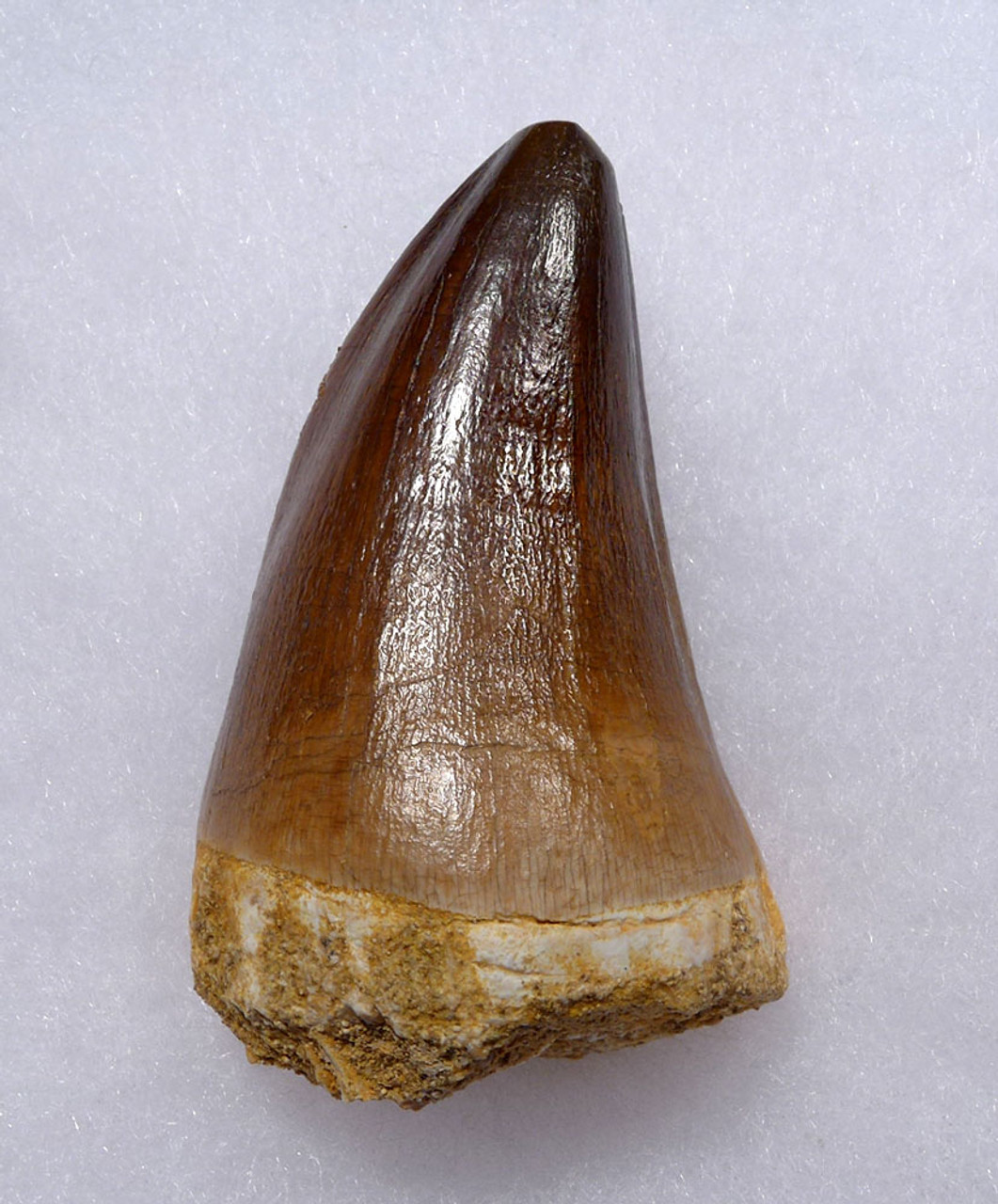 OUR LARGEST FINEST MOSASAURUS TOOTH FROM A HUGE EXTINCT MOSASAUR  *DT1-902
