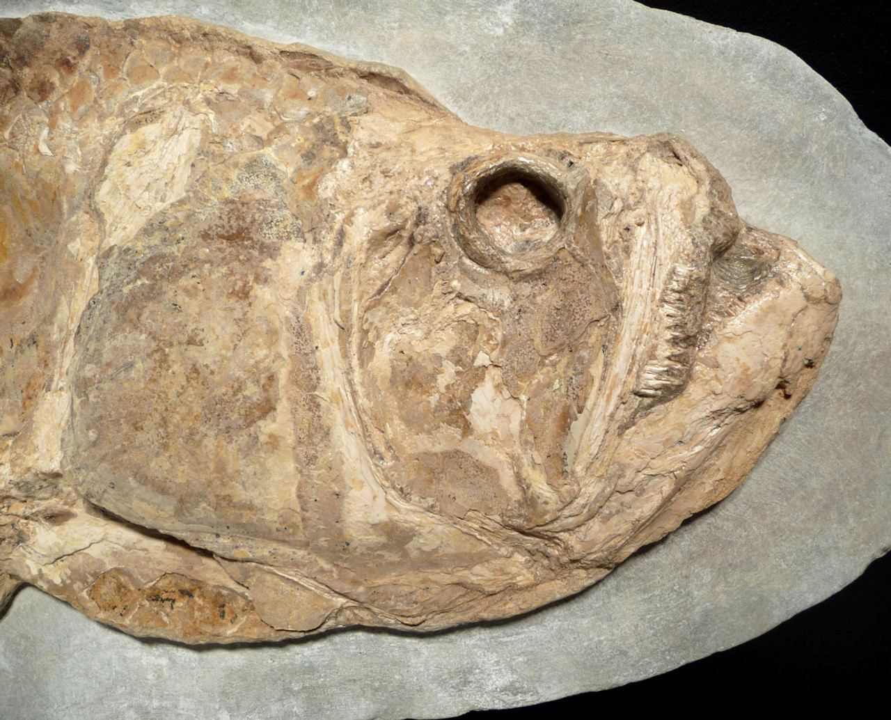 FINEST DINOSAUR-ERA GIANT PREHISTORIC TARPON-LIKE CLADOCYCLUS FISH FOSSIL  *FBR007