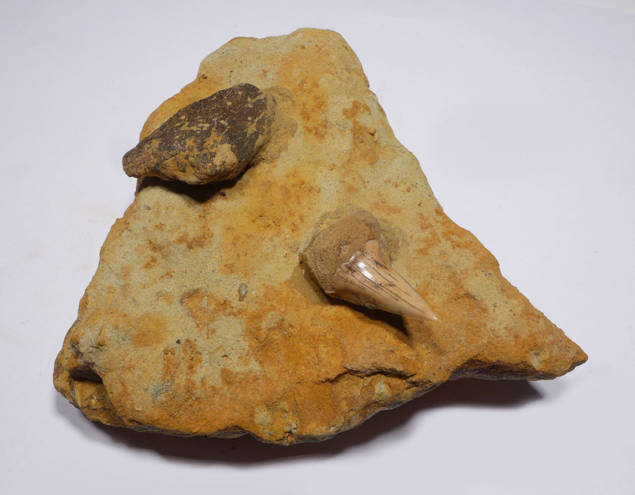 SHARKTOOTH HILL FOSSIL MAKO SHARK TOOTH HASTALIS WITH BONE IN SANDSTONE FROM CALIFORNIA  *STH030