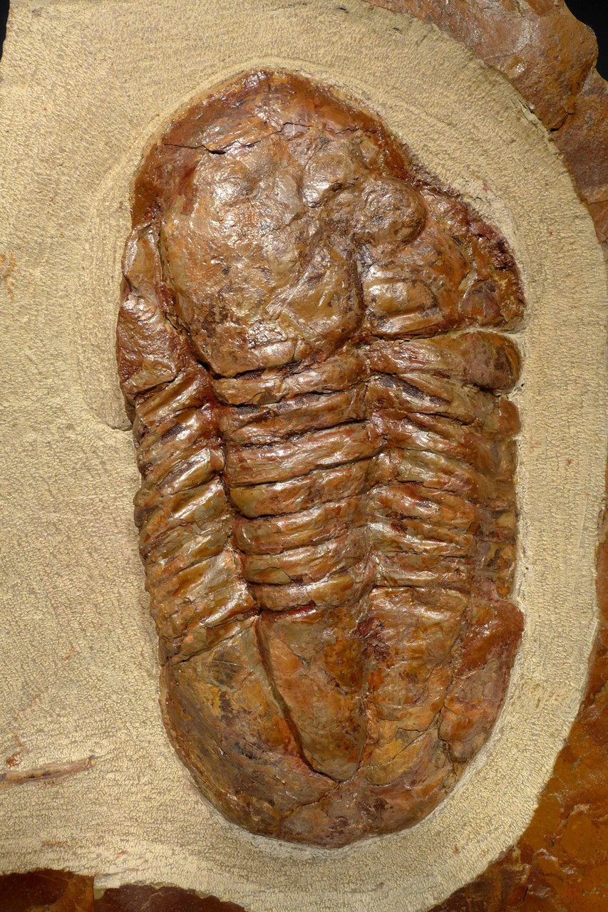 STUNNING COLORFUL ASAPHUS TRILOBITE FOSSIL FROM THE ORDOVICIAN  *TRRD04