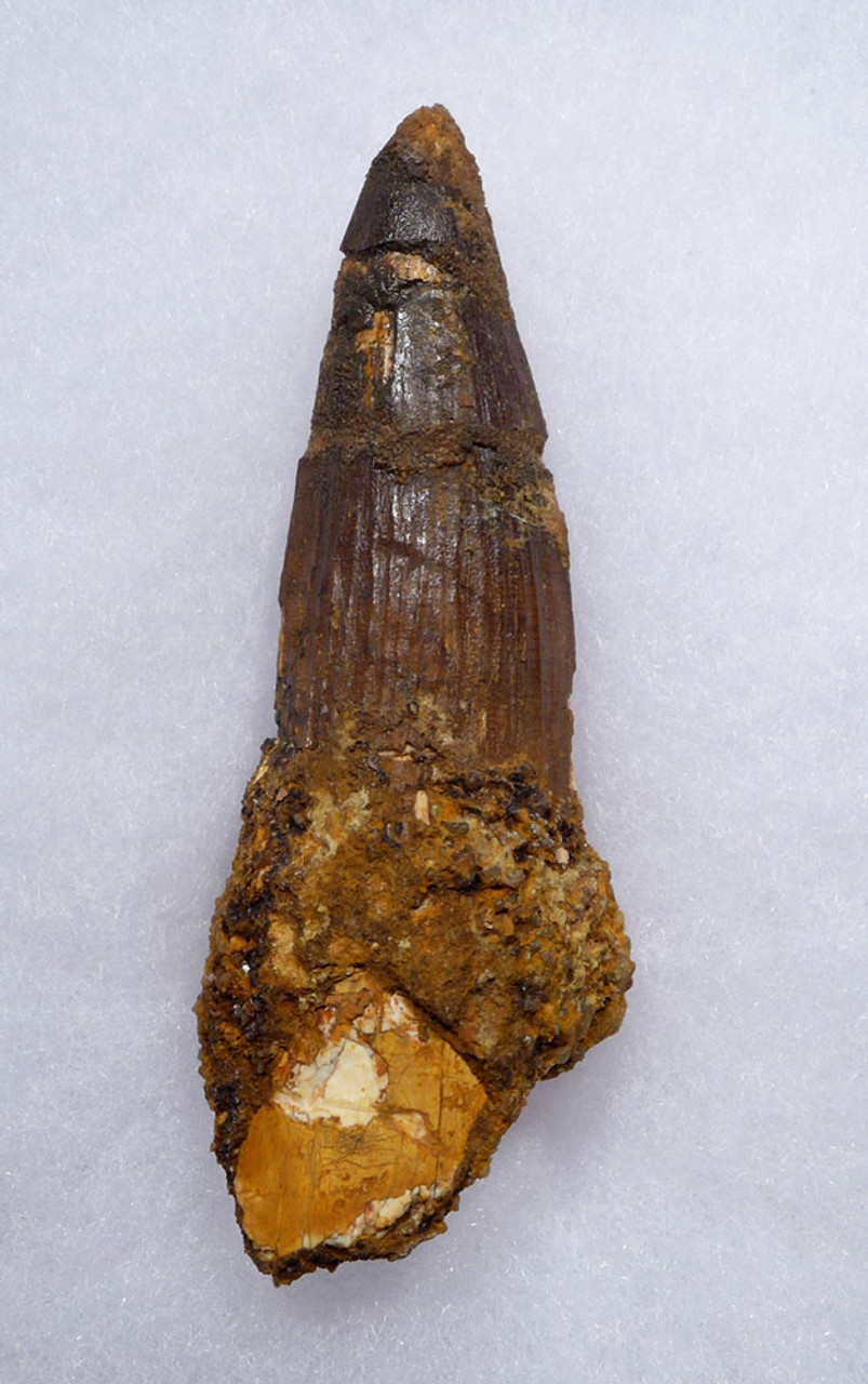 AFFORDABLE WHOPPER 3.5 INCH SPINOSAURUS FOSSIL DINOSAUR TOOTH  *DT5-539
