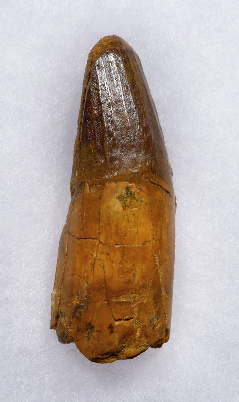 EXCELLENT 2.75 INCH FOSSIL DINOSAUR TOOTH FROM A LARGE SPINOSAURUS   *DT5-540