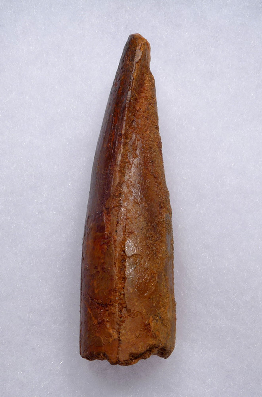 VERY LARGE UNBROKEN SPINOSAURUS FOSSIL TOOTH FROM A MAXIMUM SIZE DINOSAUR   *DT5-545