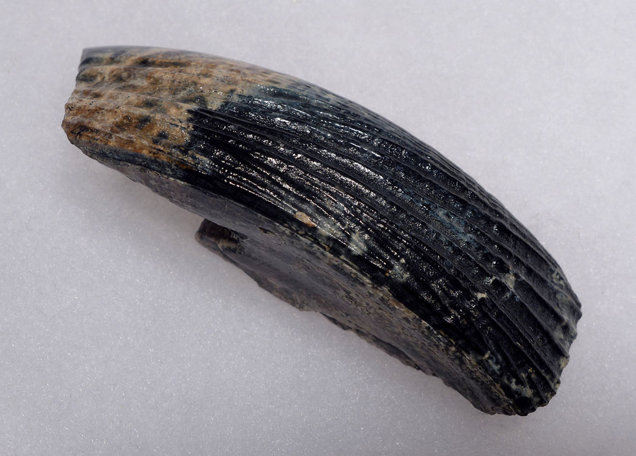 MOST BEAUTIFUL LARGE FOSSIL TUSK INCISOR OF AN EXTINCT CASTOROIDES GIANT BEAVER WITH RARE COLORS  *LMX256